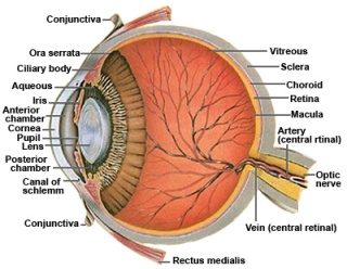 Anatomy_of_the_Human_Eye-Cross_section_view